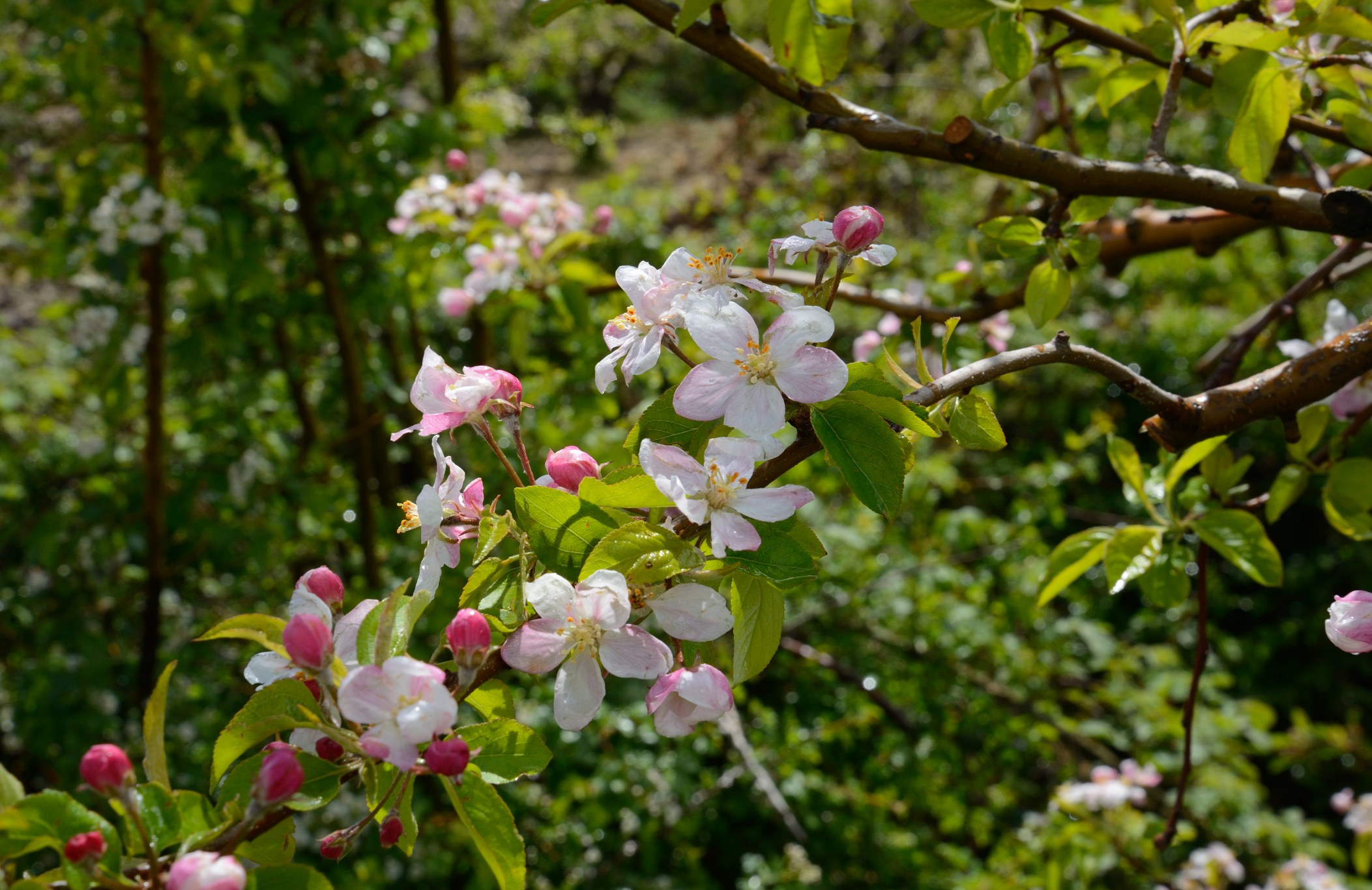 Fnaideq Apple Tree Bloom